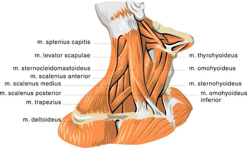 muscles-of-the-neck